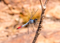 Dragonfly, Curtain Falls, Litchfield National park