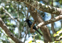 Spangle Drongo, back again