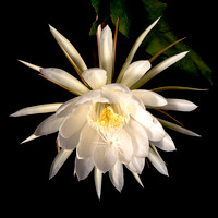 Flower of Queen of the NIght