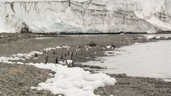 Penguins at the foot of Collins Glacier in Maxwell Bay