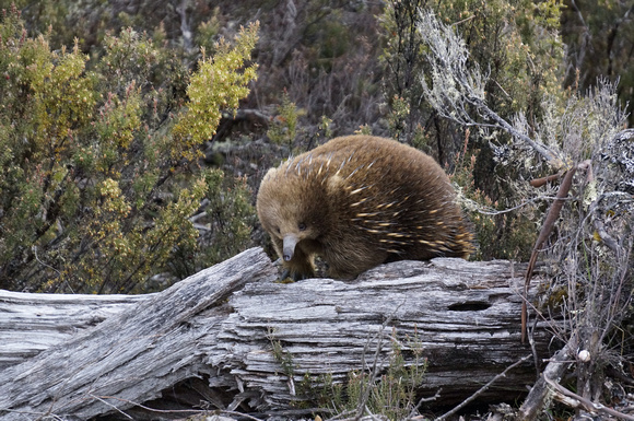 Echidna in Cradle Mountain National Park