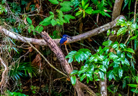 Azure Kingfisher, Atherton Tablelands, QLD