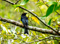 Spangled Drongo, Atherton Tablelands, QLD