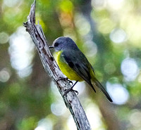 Eastern Yellow Robin,  Booderee National Park