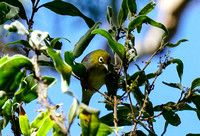 Silvereye in Booderee National Park